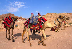 Bedouin camels in Petra, Jordan Royalty Free Stock Photos