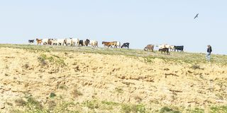 Bedouin and Dogs Herding Goats near Arad in Israel stock photo