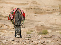 Bedouin donkey stock photo