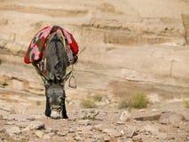 Bedouin donkey Stock Photo