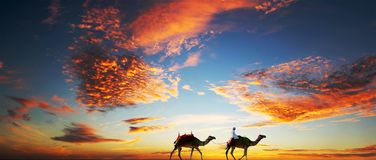 Camels under a dramatic sky. Bedouin driving Camels on a lonely Beach under a Dramatic cloudy, vibrant orange sky royalty free stock photography