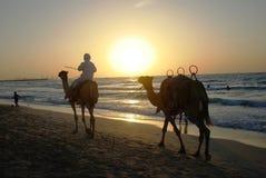 Bedouin em uma equitação do camelo no por do sol Imagens de Stock