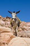 Bedouin ezel bij oude Petra in Jordanië royalty-vrije stock foto's