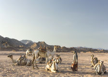 Bedouin girl with her camels. In the desert Stock Images
