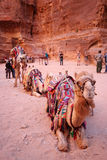 Bedouin kameel Royalty-vrije Stock Afbeelding