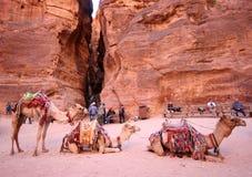 Bedouin kameel Royalty-vrije Stock Fotografie