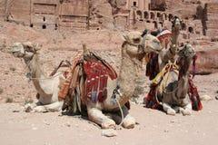 Bedouin Kamelen bij Petra, Jordanië Royalty-vrije Stock Afbeelding