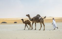Bedouin man with his camels royalty free stock photo