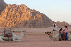 Bedouin nomads. Egyptian Bedouin nomads of the desert. family and domestic camels Royalty Free Stock Photography