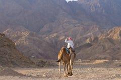 Bedouin On His Camel, Blue Hole, Dahab Stock Photography