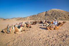 Bedouin people with camels resting on desert in Egypt Stock Photo