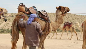 Bedouin preparing camel for a ride stock video