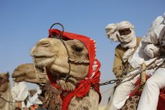 Bedouin rides on camel through sandy desert stock images