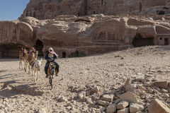 Bedouin riding a donkey. In Petra, Jordan among with his herd of camels Stock Image