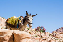 Bedouin's donkey at ancient Petra in Jordan Royalty Free Stock Images