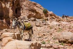 Bedouin's donkey at ancient Petra in Jordan Royalty Free Stock Photos
