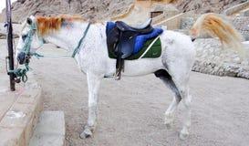 Bedouin's horse. Sinai peninsula Stock Image