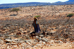 Bedouin vrouw met geiten nabijgelegen salalah, Oman Stock Foto