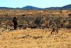 Bedouin woman with goats nearby salalah, Oman Royalty Free Stock Images