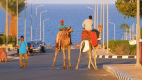 Bedouins on camels in Egypt on the road against the backdrop of the red sea. EGYPT, SHARM EL SHEIKH, APRIL 10, 2019: Bedouins on camels in Egypt on the road stock video
