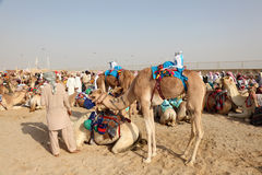 Bedouins with their racing camels Royalty Free Stock Photos