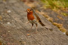 Bedraggled robin with mealworms Royalty Free Stock Images