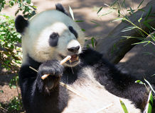 Bedreigd Reuzepanda eating bamboo stalk stock foto