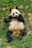 Bedreigde dierlijke ReuzePanda Royalty-vrije Stock Foto's