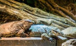 Bedreigde hagedisspecies, twee grote rinocerosleguanen die, tropische reptielen van de Caraïben samen zitten stock foto's