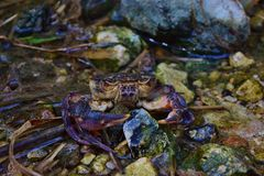 Bedreigde Maltese zoetwaterkrab, Potamon fluviatile, in waterstroom stock fotografie