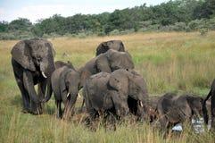 Bedreigde Olifantskudden - Zimbabwe Stock Foto