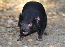 Bedreigde Tasmaanse duivel Royalty-vrije Stock Afbeeldingen