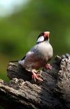 Bedreigde Vogel - de mus van Java Stock Foto