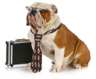 Bedrijfs hond Stock Fotografie