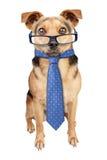 Bedrijfshond die geïsoleerde glazenband dragen Royalty-vrije Stock Fotografie