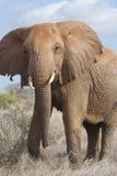 Bedrohen des afrikanischen Elefanten. lizenzfreie stockbilder