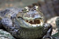 Bedrohendes Krokodil Stockfotografie