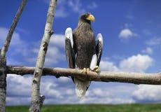 Bedrohlicher Adler mit dem gelben Schnabel Lizenzfreies Stockfoto