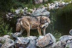 Bedrohlicher Blick des grauen Wolfs Lizenzfreies Stockfoto