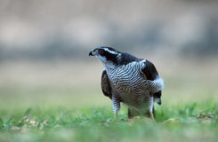 Bedrohlicher Falke auf dem Gebiet Stockfotografie