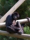 Bedrohte Art Gibbons des Sumatra-Kloss Lizenzfreie Stockfotografie