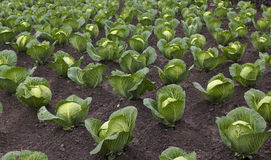 Beds with cabbage. Equal ranks of beds with cabbage Royalty Free Stock Photo