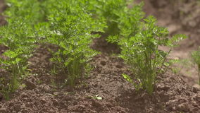 The beds of carrots. Waving flowers at the cottage or in the house, street flowers stock video