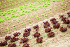 Beds of fresh lettuce Royalty Free Stock Photography
