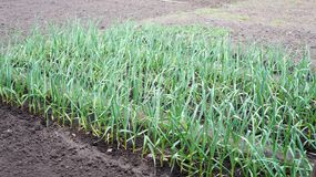 Beds of green garlic Royalty Free Stock Images