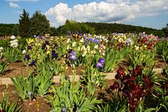 Beds of irises Stock Image