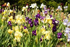 Beds of irises Stock Photography