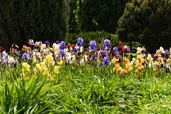 Beds of irises Royalty Free Stock Images