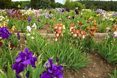 Beds of irises Royalty Free Stock Image