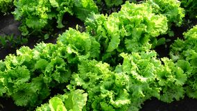 The beds of lettuce in garden stock footage